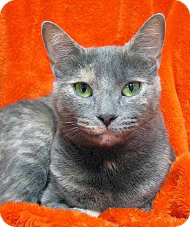 Domestic Shorthair Cat for adoption in Norwalk, Connecticut - Clementine