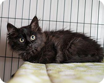 Domestic Mediumhair Kitten for adoption in Shelton, Washington - Sputter