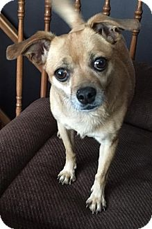 Chihuahua/Miniature Pinscher Mix Dog for adoption in Fort Wayne, Indiana - Dixie