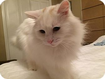 Domestic Longhair Cat for adoption in HILLSBORO, Oregon - Offered by Owner 'Scottie'