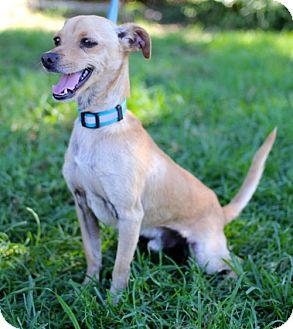 Italian Greyhound/Chihuahua Mix Puppy for adoption in San Diego, California - Sven