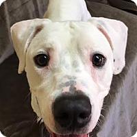 Adopt A Pet :: Powder - Philadelphia, PA