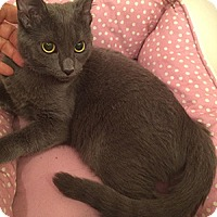 Russian Blue Kitten for adoption in Metairie, Louisiana - Nikita