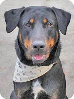 Labrador Retriever/Rottweiler Mix Dog for adoption in Denver, Colorado - Santo
