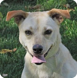 Chihuahua Mix Dog for adoption in Woodstock, Illinois - Lassie