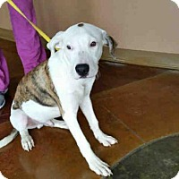 Pointer Mix Dog for adoption in Texas City, Texas - ROBERT