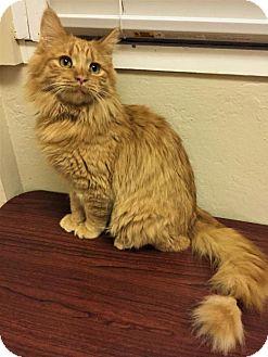 Domestic Mediumhair Cat for adoption in Tempe, Arizona - Casper