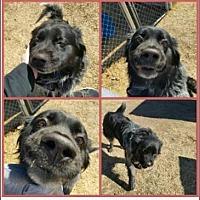Adopt A Pet :: Hoss (CP) - Dallas, TX