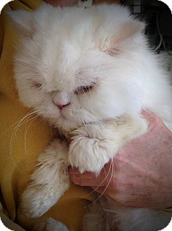 Persian Cat for adoption in Columbus, Ohio - Montecarlo