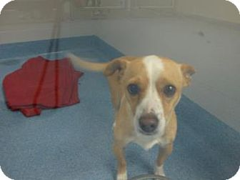 ... Russell Terrier Mix Dog for adoption in Gainesville, Florida - Rocky