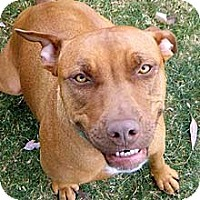 Labrador Retriever/Staffordshire Bull Terrier Mix Dog for adoption in Phoenix, Arizona - Sienna