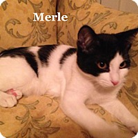 Adopt A Pet :: Merle - Bentonville, AR