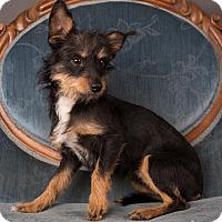 Adopt A Pet :: Widget - Salem, OR