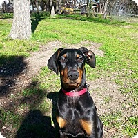 Adopt A Pet :: Lexi - killeen, TX