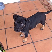 Adopt A Pet :: Scarlet - Homestead, FL