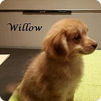 Adopt A Pet :: Willow - Bartonsville, PA