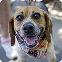 Beagle Dog for adoption in Fairfax, Virginia - Sally Beagle *Adopting Pending*