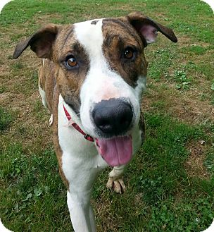 Pit Bull Terrier Mix Dog for adoption in Shinnston, West Virginia - Rocco