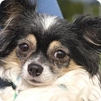 Chihuahua Dog for adoption in Colorado Springs, Colorado - Savannah