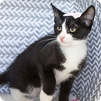 Adopt A Pet :: Calzone - Montclair, CA
