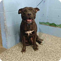Pit Bull Terrier Mix Dog for adoption in San Bernardino, California - URGENT on 10/8 SAN BERNARDINO