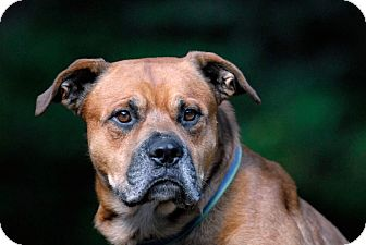 Rottweiler Mix Dog for adoption in Pottsville, Pennsylvania - Bear
