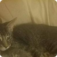 Adopt A Pet :: Sara (bonded w Snickers) - Warren, MI