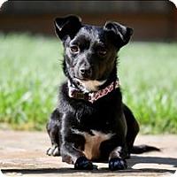 Adopt A Pet :: Olive - Napa, CA