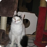 Turkish Van Cat for adoption in Glendale, Arizona - Bree
