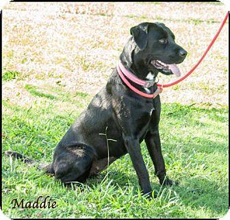 Labrador Retriever Dog for adoption in Ada, Oklahoma - Maddie