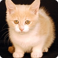 Domestic Shorthair Kitten for adoption in Newland, North Carolina - Genie