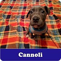 Adopt A Pet :: Cannoli - Armonk, NY