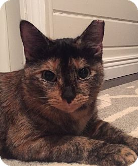 Domestic Shorthair Cat for adoption in Worcester, Massachusetts - Opal