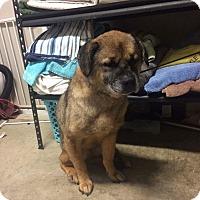 Adopt A Pet :: Honey - Manassas, VA