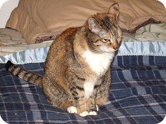 Domestic Shorthair Cat for adoption in Scottsdale, Arizona - Embers-petit beauty