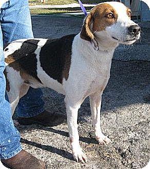 Treeing Walker Coonhound/Hound (Unknown Type) Mix Dog for adoption in Orange Lake, Florida - Sawyer
