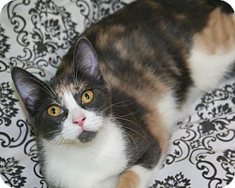 Domestic Shorthair Cat for adoption in Edmonton, Alberta - Bella