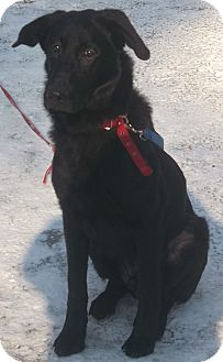 German Shepherd Dog/Labrador Retriever Mix Dog for adoption in Huntsville, Ontario - Buddy - Happy Boy!