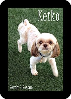 Shih Tzu Dog for adoption in Rockwall, Texas - Keiko