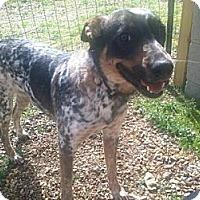 Adopt A Pet :: Sadie Blue - Wytheville, VA