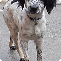 Adopt A Pet :: Irish Setter Mix - Aloha, OR