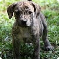 Adopt A Pet :: Baby Brindle - Staunton, VA