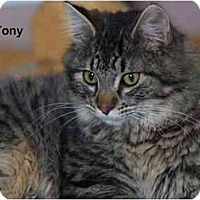 Adopt A Pet :: Tony - Portland, OR