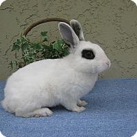 Adopt A Pet :: Chaplin - Bonita, CA