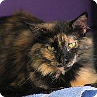 Domestic Longhair Cat for adoption in Fresno, California - Calypso Hiser