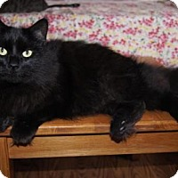 Domestic Mediumhair Cat for adoption in New Bedford, Massachusetts - Charles