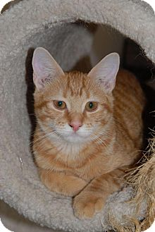 Domestic Shorthair Cat for adoption in Shelbyville, Tennessee - Thomas