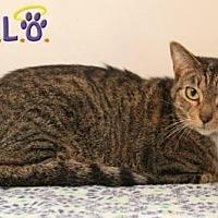 Domestic Shorthair Cat for adoption in Sebastian, Florida - Nitro
