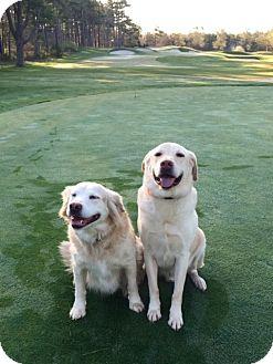 Labrador Retriever/Golden Retriever Mix Dog for adoption in LAKEVILLE, Massachusetts - DiXiE