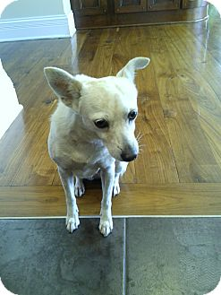 Chihuahua/Terrier (Unknown Type, Small) Mix Dog for adoption in Crown Point, Indiana - Lucy